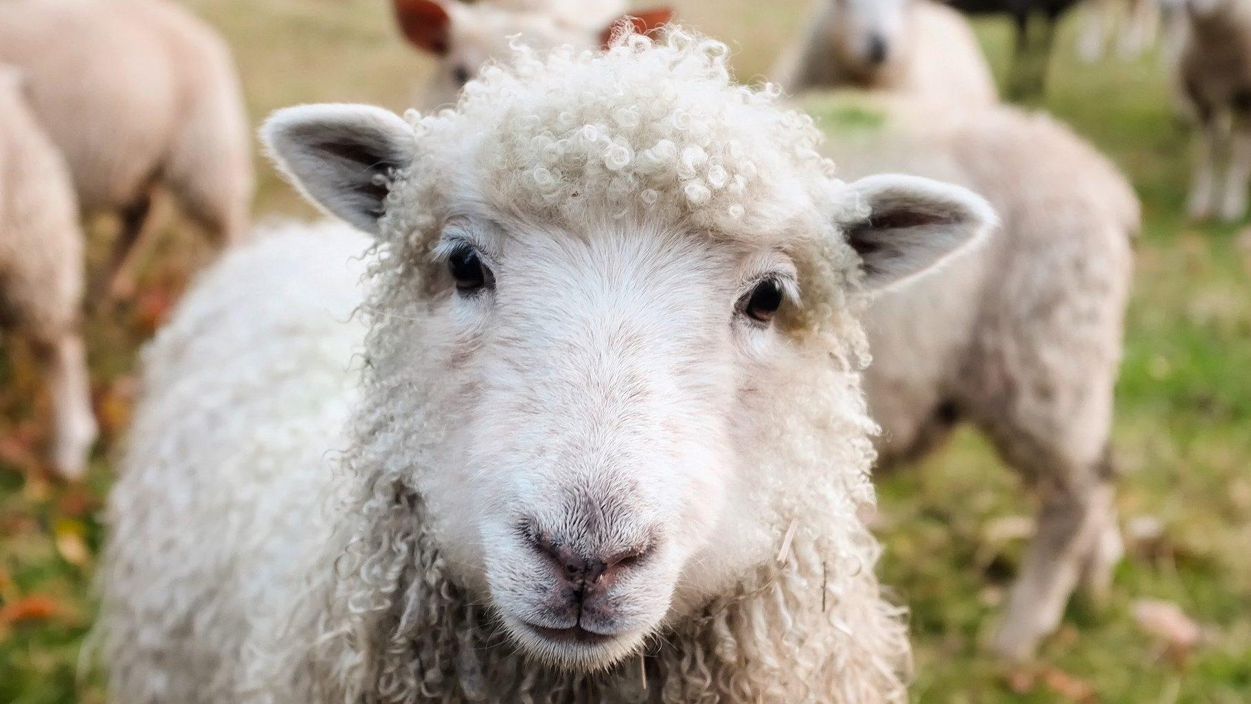 Ein Schaf!