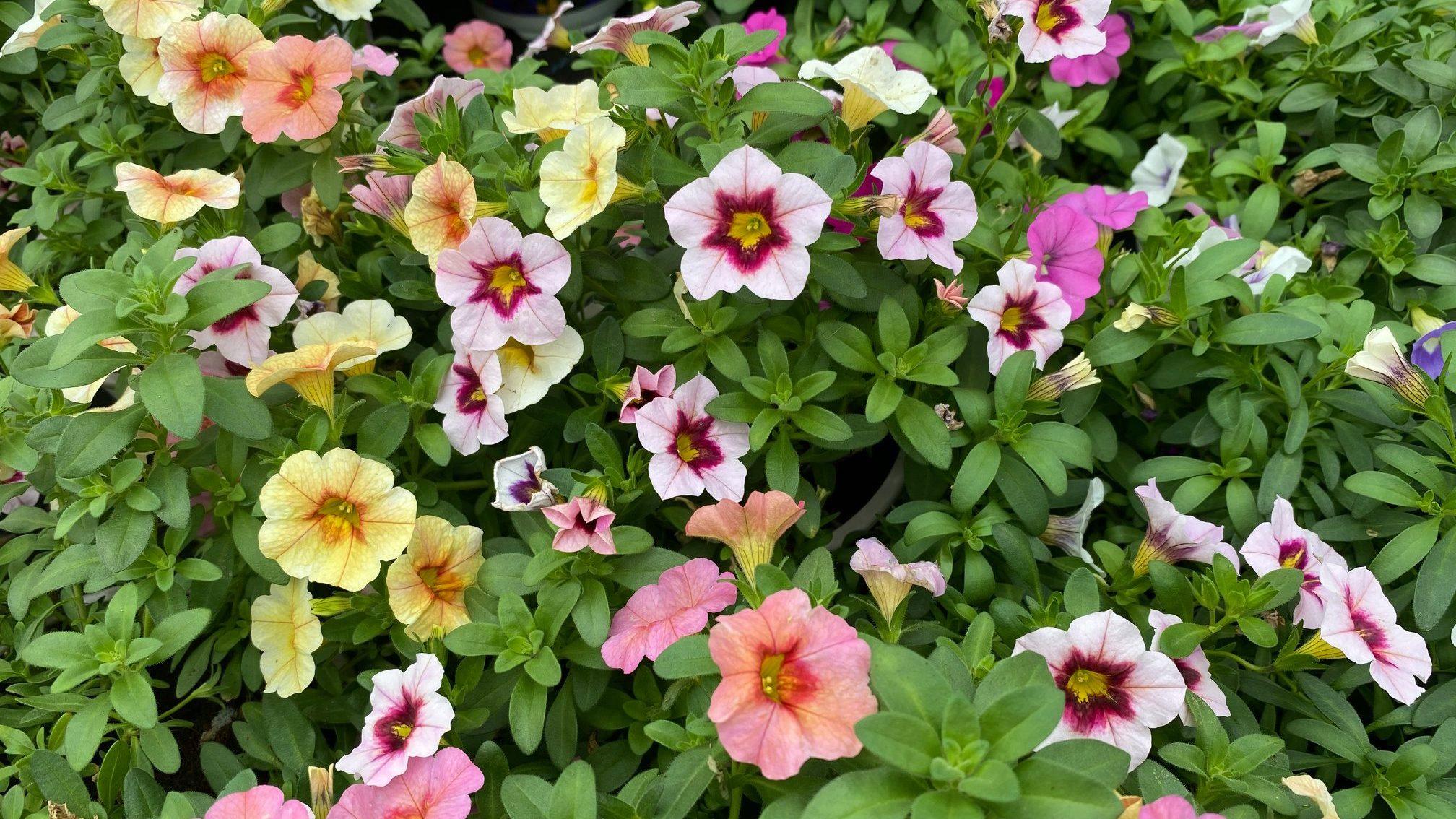 Blumen von der Foto: Tropica Raritätengärtnerei GmbH